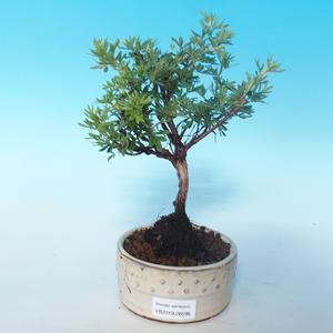 Odkryty bonsai pięciornik - Dasiphora fruticosa żółty