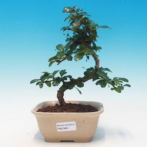 Pokój bonsai - Carmona macrophylla - herbata fuki