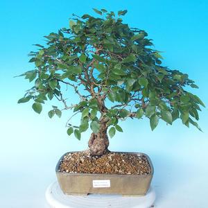 Na zewnątrz bonsai-Karpiny KARPINOWE - Koreański Grab