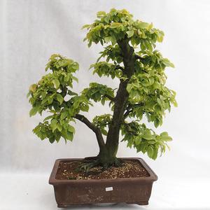 Outdoor bonsai - Grab - Carpinus betulus VB2019-26689