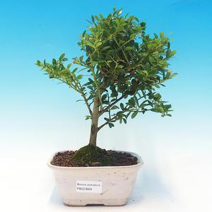 bonsai pokój - Ilex crenata - Holly