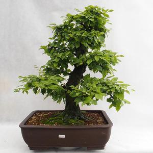 Outdoor bonsai - Grab - Carpinus betulus VB2019-26690