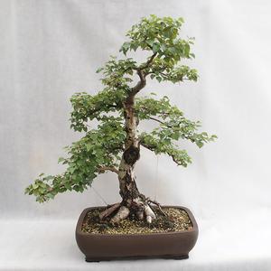 Outdoor bonsai - Betula verrucosa - brzoza srebrna VB2019-26695