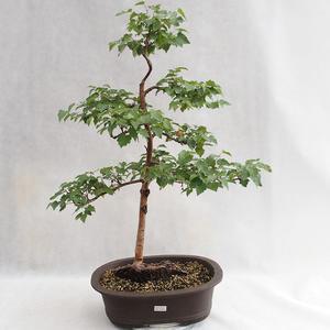 Outdoor bonsai - Betula verrucosa - brzoza srebrna VB2019-26696