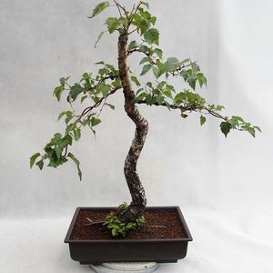 Outdoor bonsai - Betula verrucosa - brzoza srebrna VB2019-26697