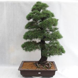 Outdoor bonsai - Pinus sylvestris - sosna zwyczajna VB2019-26699