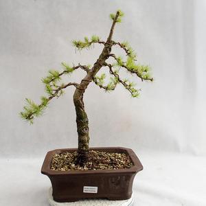 Outdoor bonsai - Larix decidua - Modrzew europejski VB2019-26702