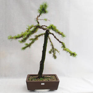 Outdoor bonsai - Larix decidua - Modrzew europejski VB2019-26704