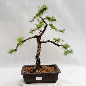 Outdoor bonsai - Larix decidua - modrzew europejski VB2019-26707