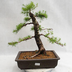 Outdoor bonsai - Larix decidua - modrzew europejski VB2019-26708
