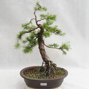 Outdoor bonsai - Larix decidua - Modrzew europejski VB2019-26709