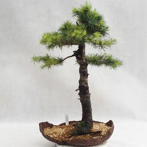 Outdoor bonsai - Larix decidua - Modrzew europejski VB2019-26710
