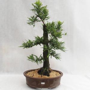 Outdoor Bonsai - Metasequoia Glyptostroboides - Chinese Metasquo Outdoor Outdoor Bonsai - Metasequoia Glyptostroboides - Chinese Metasquoidal VB2019-26711