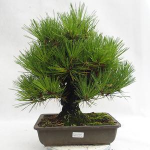 Outdoor bonsai - Pinus thunbergii Corticosa - sosna Thunberga VB2019-26712