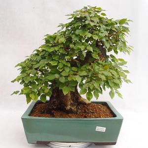 Outdoor bonsai - koreański grab - Carpinus carpinoides VB2019-26715