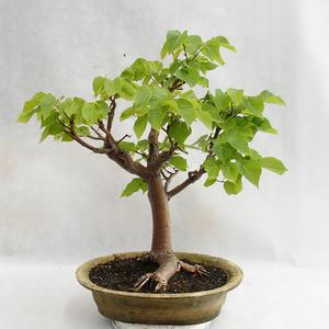 Outdoor bonsai - Wapno w kształcie serca - Tilia cordata 404-VB2019-26717