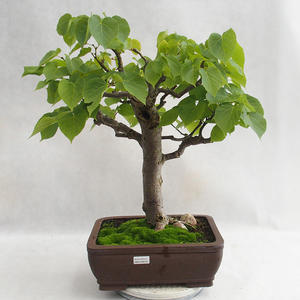Outdoor bonsai - Wapno w kształcie serca - Tilia cordata 404-VB2019-26718