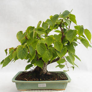 Outdoor bonsai - Wapno w kształcie serca - Tilia cordata 404-VB2019-26719