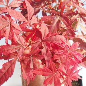 Outdoor bonsai - dłoń Acer. Atropurpureum-klon japoński czerwony 408-VB2019-26725