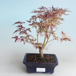Outdoor Bonsai - Klon japoński Acer palmatum Butterfly 408-VB2019-26729