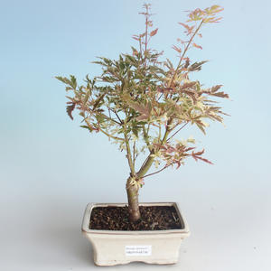 Outdoor Bonsai - Klon japoński Acer palmatum Butterfly 408-VB2019-26730