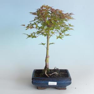 Outdoor bonsai - Acer palmatum Beni Tsucasa - Klon japoński 408-VB2019-26731