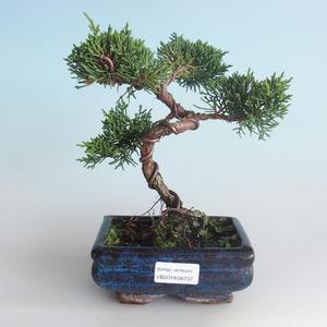 Outdoor bonsai - Juniperus chinensis - chiński jałowiec 408-VB2019-26737