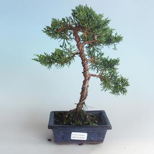 Outdoor bonsai - Juniperus chinensis - chiński jałowiec 408-VB2019-26740