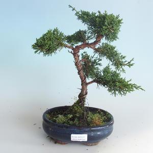 Outdoor bonsai - Juniperus chinensis - chiński jałowiec 408-VB2019-26744