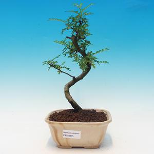 bonsai Room - Zantoxylum fagara - kava