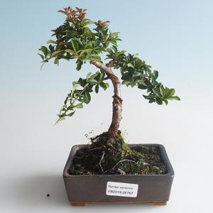 Outdoor Bonsai-Pyracant Teton -Harrow 408-VB2019-26767