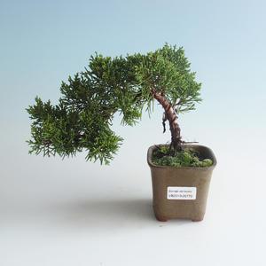 Outdoor bonsai - Juniperus chinensis - chiński jałowiec 408-VB2019-26770