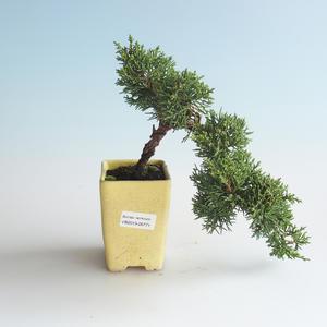 Outdoor bonsai - Juniperus chinensis - chiński jałowiec 408-VB2019-26771