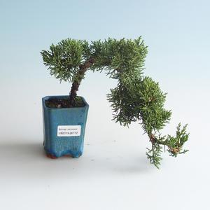 Outdoor bonsai - Juniperus chinensis - chiński jałowiec 408-VB2019-26772
