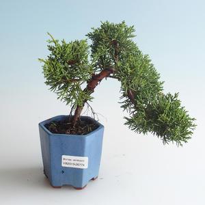 Outdoor bonsai - Juniperus chinensis - chiński jałowiec 408-VB2019-26774