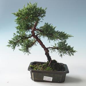Outdoor bonsai - Juniperus chinensis - chiński jałowiec 408-VB2019-26785