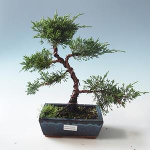 Outdoor bonsai - Juniperus chinensis - chiński jałowiec 408-VB2019-26786