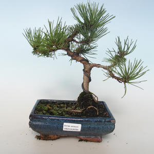 Outdoor bonsai - Pinus mugo Humpy - Pine kneel 408-VB2019-26794