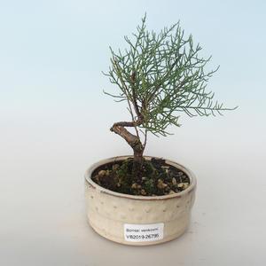 Outdoor bonsai - Tamaris parviflora Tamaryszek drobnolistny 408-VB2019-26795