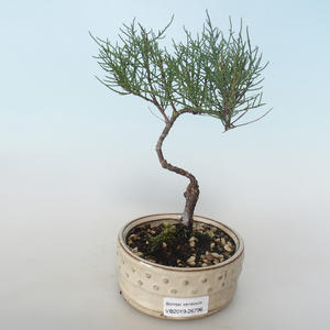 Outdoor bonsai - Tamaris parviflora Tamaryszek drobnolistny 408-VB2019-26796