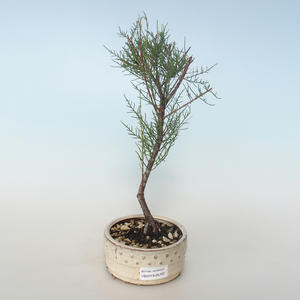 Outdoor bonsai - Tamaris parviflora Tamarisk 408-VB2019-26797