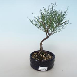 Outdoor bonsai - Tamaris parviflora Tamaryszek drobnolistny 408-VB2019-26799