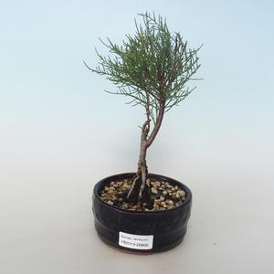 Outdoor bonsai - Tamaris parviflora Tamaryszek drobnolistny 408-VB2019-26800