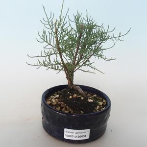 Outdoor bonsai - Tamaris parviflora Tamaryszek drobnolistny 408-VB2019-26801