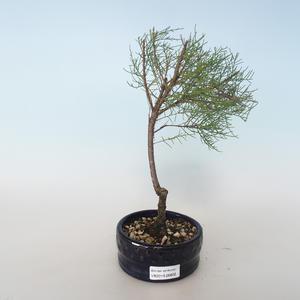 Outdoor bonsai - Tamaris parviflora Tamarisk drobnolistny 408-VB2019-26802