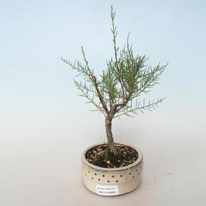 Outdoor bonsai - Tamaris parviflora Tamaryszek drobnolistny 408-VB2019-26803