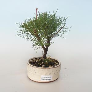 Outdoor bonsai - Tamaris parviflora Tamaryszek drobnolistny 408-VB2019-26804