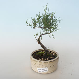 Outdoor bonsai - Tamaris parviflora Tamaryszek drobnolistny 408-VB2019-26805