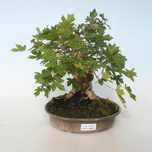 Outdoor bonsai-Acer campestre-Maple Babyb 408-VB2019-26807