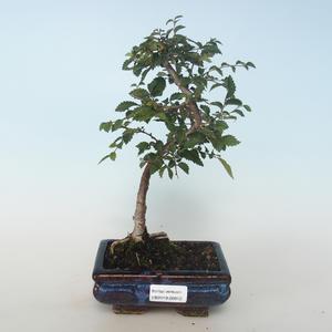 Outdoor bonsai-Ulmus parvifolia-Wiąz mały liść 408-VB2019-26812